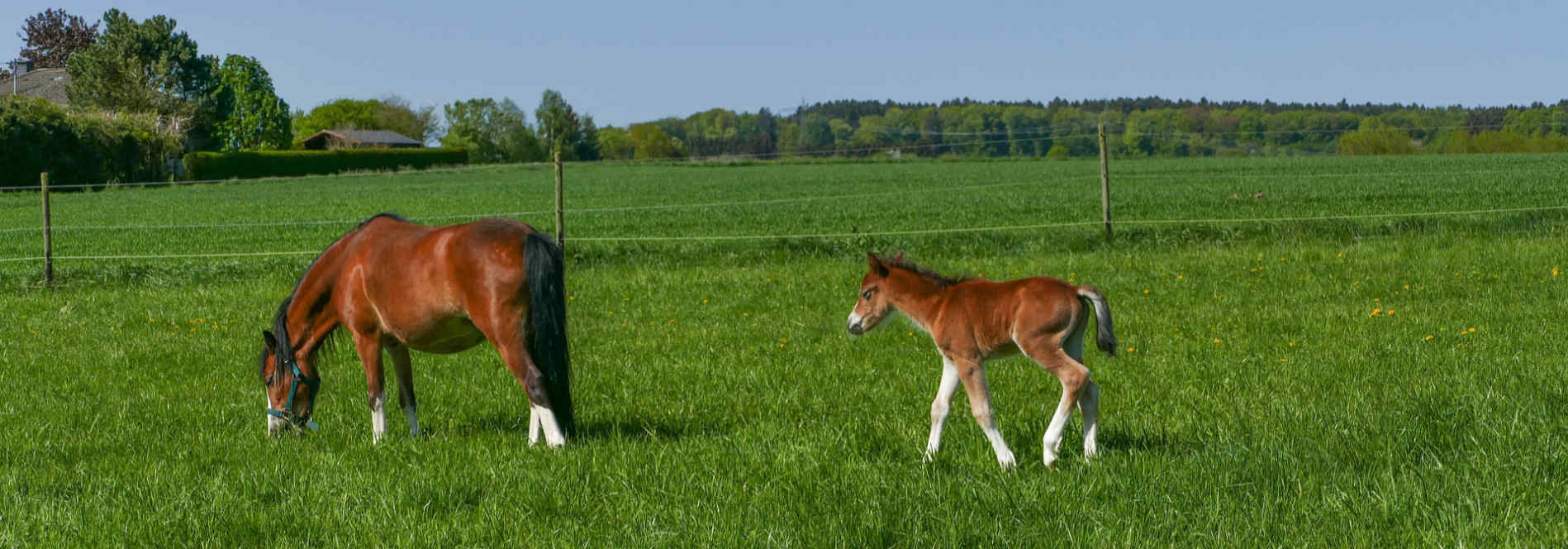 A mare and her colt grazing in a pasture after their horse transportation trip